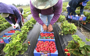 A single strawberry might contain up to 20 pesticides